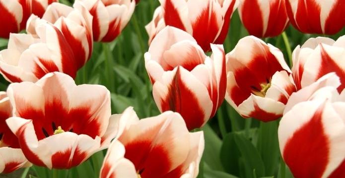 Dubnové módní šílenství právě začíná - tulip